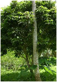 pili_tree1